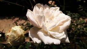 El color blanco hermoso subi? fondo hermoso del p?talo rom?ntico de la flor imágenes de archivo libres de regalías