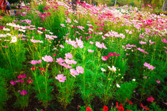 El color de la flor del cosmos Imagen de archivo