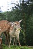 El color de los ciervos del sika es rojo de la castaña en verano, con muchos puntos blancos, como los flores del ciruelo; el invi imagenes de archivo