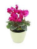 El color de rosa cyclamen la flor, aislada en blanco Fotos de archivo libres de regalías