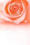 El color de rosa del primer del medio marco se levantó Fotografía de archivo