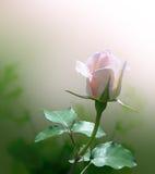 El color de rosa delicado se levantó Imagen de archivo