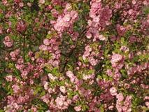 El color de rosa florece el fondo _1 Fotos de archivo libres de regalías