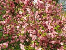 El color de rosa florece el fondo _1 Foto de archivo