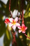 El color de rosa florece el frangipani Imagen de archivo