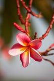 El color de rosa florece el frangipani Fotografía de archivo libre de regalías
