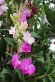 El color de rosa florece la orquídea Imágenes de archivo libres de regalías