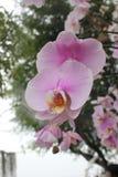 El color de rosa florece la orquídea Foto de archivo libre de regalías