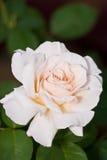 El color de rosa floreciente se levantó Imagen de archivo libre de regalías