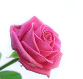 El color de rosa fresco se levantó Imagen de archivo