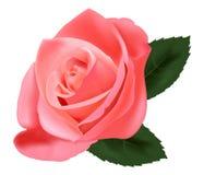 El color de rosa hermoso se levantó. Foto de archivo