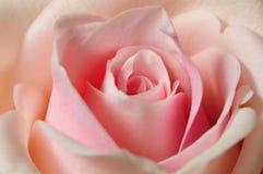 El color de rosa hermoso se levantó Imagen de archivo libre de regalías