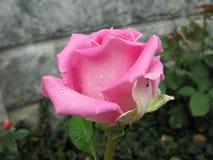El color de rosa mojado se levantó Fotos de archivo libres de regalías