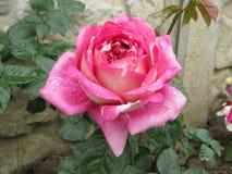 El color de rosa mojado se levantó Fotografía de archivo