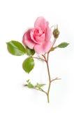 El color de rosa se levantó