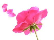El color de rosa se levantó Imágenes de archivo libres de regalías