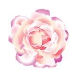 El color de rosa se levantó. Foto de archivo libre de regalías