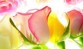 El color de rosa se levantó imagenes de archivo