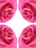 El color de rosa se levantó Fotos de archivo