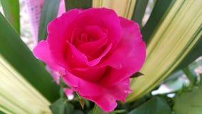 El color de rosa se levantó Fotografía de archivo