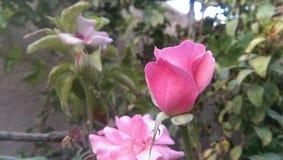 El color de rosa se levantó Imagen de archivo libre de regalías