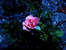 El color de rosa se levantó imagen de archivo