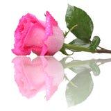 El color de rosa se levantó con gotas del agua Foto de archivo