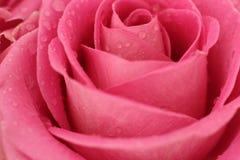 El color de rosa se levantó con gotas del agua Foto de archivo libre de regalías