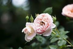 El color de rosa se levantó con la abeja Imagen de archivo libre de regalías