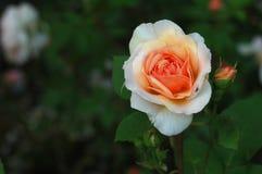 El color de rosa se levantó con la mosca 8209 Fotografía de archivo libre de regalías