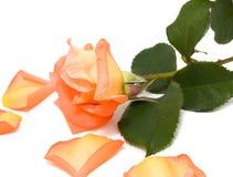 El color de rosa se levantó con los pétalos caidos Imagen de archivo
