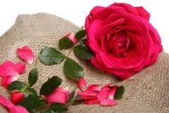 El color de rosa se levantó con los pétalos en la tela de lino Fotos de archivo libres de regalías