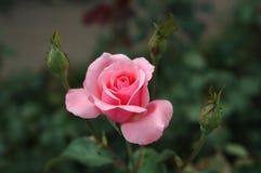 El color de rosa se levantó con tres brotes. Imagen de archivo libre de regalías