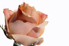 El color de rosa se levantó contra el fondo blanco Imagen de archivo libre de regalías