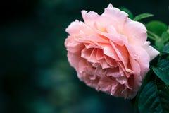 El color de rosa se levantó en jardín Fotos de archivo libres de regalías