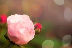 El color de rosa se levantó en jardín imagenes de archivo