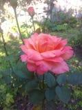 El color de rosa se levantó en jardín Imágenes de archivo libres de regalías