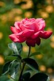 El color de rosa se levantó en jardín Imagen de archivo