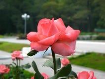 El color de rosa se levantó en un jardín Imagenes de archivo