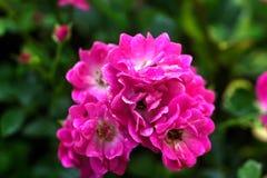 El color de rosa se levantó Flor cultivada Foto de archivo libre de regalías