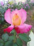 El color de rosa y el rojo se levantaron Foto de archivo