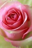 El color de rosa y el verde se levantaron Fotos de archivo