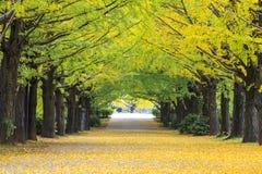 El color del otoño adorna los árboles en esta arboleda del tre del Ginkgo Fotos de archivo