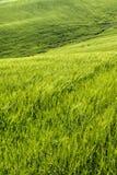 El color del trigo de maduración Fotos de archivo