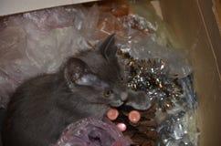 El color gris-azul ruso de los gris plateados de la raza hermosa del gato miente, descansa Fotografía de archivo