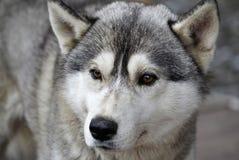 El color gris de perro de la raza del primer fornido de la cabeza mira en la distancia Imagen de archivo