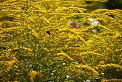 El color grueso de flores amarillas vistió denso una rama y un tronco y las abejas del vuelo al lado de ellas Fotografía de archivo libre de regalías