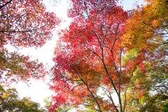 el color hermoso del otoño del arce del amarillo de Japón, verde y rojo Fotos de archivo