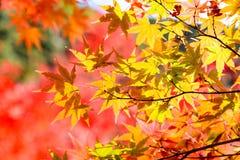 el color hermoso del otoño del arce del amarillo de Japón, verde y rojo Fotos de archivo libres de regalías