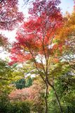 el color hermoso del otoño del arce del amarillo de Japón, verde y rojo Imágenes de archivo libres de regalías